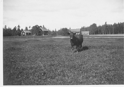 Ko vid Tysktorp