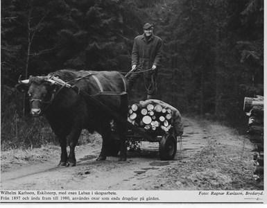 Wilhelm Karlsson, Eskilstorp med oxen Laban.