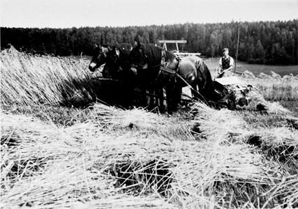 05-030-01-Bäckelid-Där Nole-12-Skörd-Självbindare-Tor Nyman