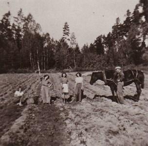 Potatisplockning  Domarvik