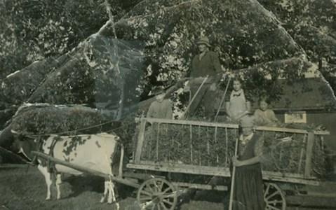 Ko framför höskrindan