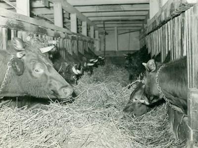 Gårdens mjölkjkor