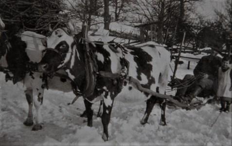 Ivar kör med kor